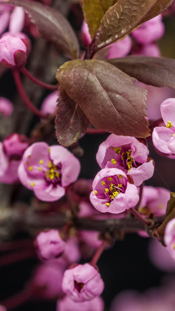wild plum flower blooming in a vertical format time lapse 4k video.  stone fruit flower blossom in spring time. 9:16 vertical format suitable for mobile phones and social media. - blossom stock videos & royalty-free footage