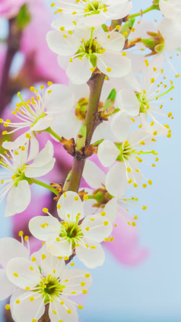 wild plum flower blooming in a vertical format time lapse 4k video.  stone fruit flower blossom in spring time. 9:16 vertical format suitable for mobile phones and social media. - pollen stock videos & royalty-free footage