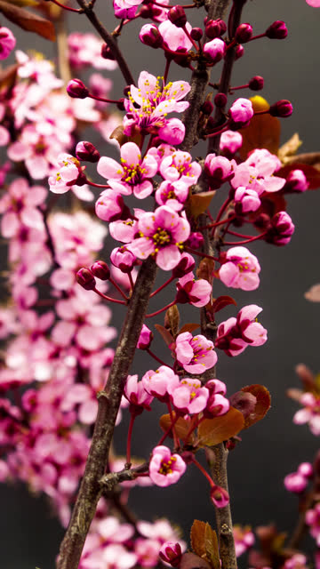 vídeos de stock e filmes b-roll de wild plum flower blooming in a vertical format time lapse 4k video.  stone fruit flower blossom in spring time. 9:16 vertical format suitable for mobile phones and social media. - estame