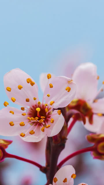 wild plum flower blooming in a vertical format time lapse 4k video.  stone fruit flower blossom in spring time. - pollen stock videos & royalty-free footage