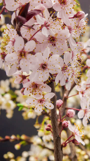 wild plum flower blooming in a vertical format time lapse 4k video.  stone fruit flower blossom in spring time. - leaf stock videos & royalty-free footage