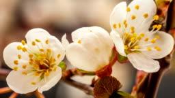 Wild plum flower blooming