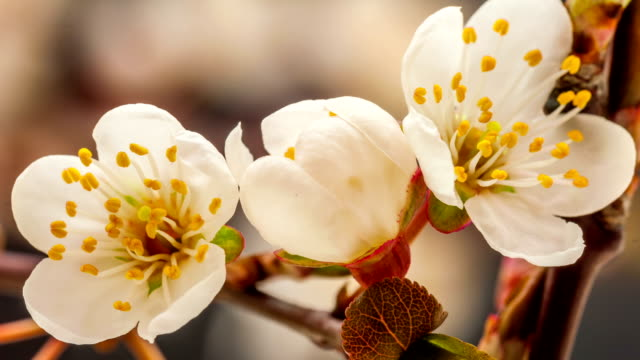 stockvideo's en b-roll-footage met wild plum flower blooming - bloeien tijdopname
