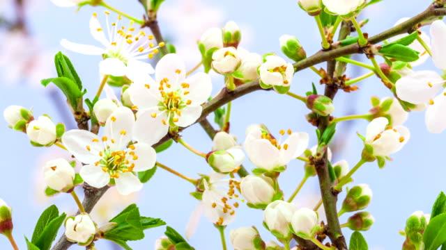 ワイルドプラムの花満開 - 春点の映像素材/bロール