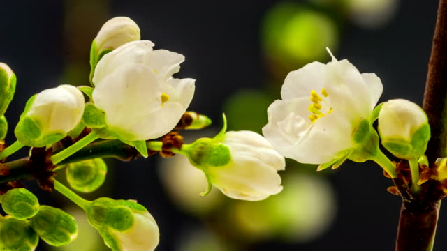 wild plum flower blooming - macro stock videos and b-roll footage