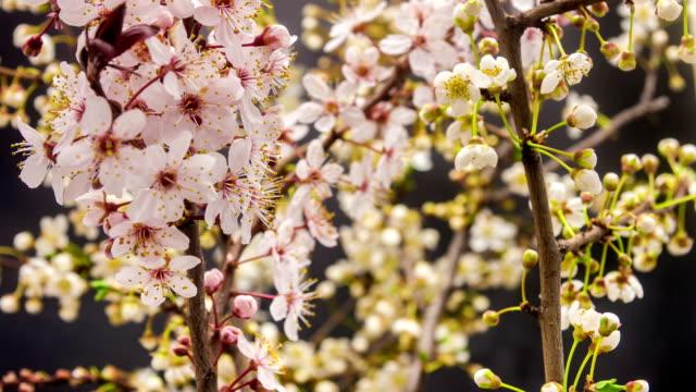 wild plum blumen erblühen - pflaume stock-videos und b-roll-filmmaterial
