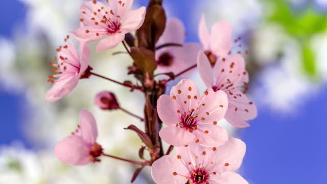 wilde pflaume blume rotieren und blühen in einem horisontalen format zeitraffer 4k video.  steinfruchtblüten im frühling. - pflaume stock-videos und b-roll-filmmaterial
