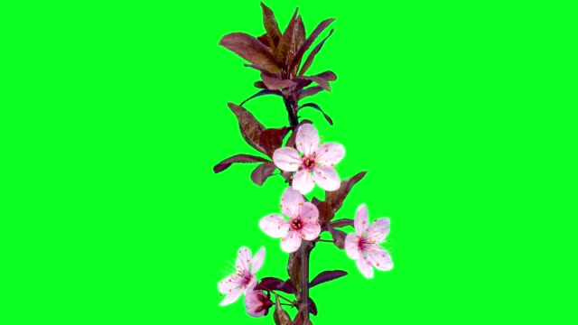 wild plum flower timelapse growing and blossoming with alpha channel - flower head stock videos & royalty-free footage