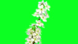 Wild plum flower timelapse growing and blossoming with alpha channel