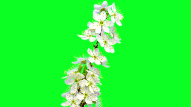 wild plum flower timelapse growing and blossoming with alpha channel - in bloom stock videos & royalty-free footage