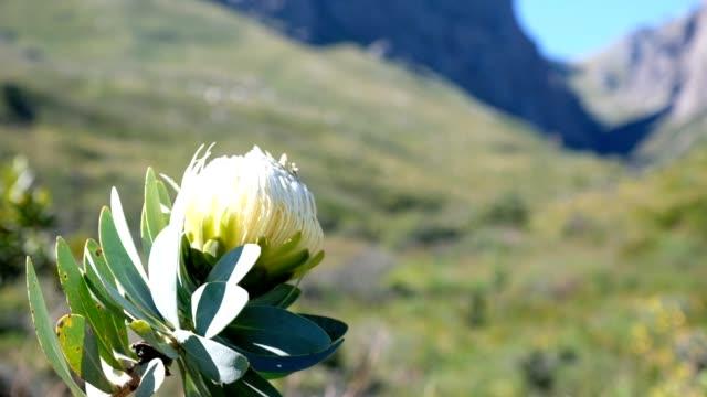 野生のプロテアの花 - ケープ半島点の映像素材/bロール