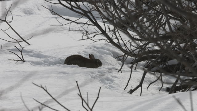 vídeos de stock, filmes e b-roll de a wild rabbit forages in the snow. - sobrevivência
