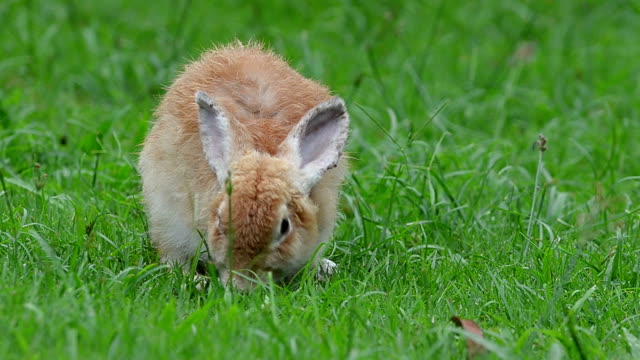 wild rabbit - cottontail stock videos & royalty-free footage