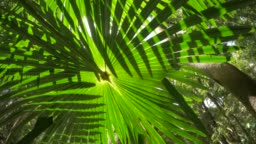 Wild rainforest jungle palm fronds ecosystem in natural lush forest