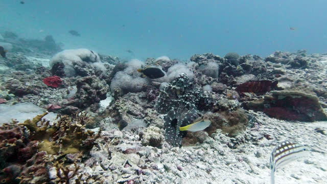 wild reef octopus foraging underwater coral reef - camouflage stock videos & royalty-free footage