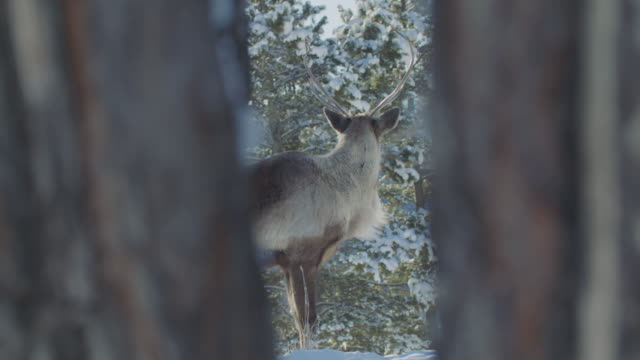wild reindeer (woodland caribou) hides, framed perfectly between two spruce trees - mystery stock videos & royalty-free footage