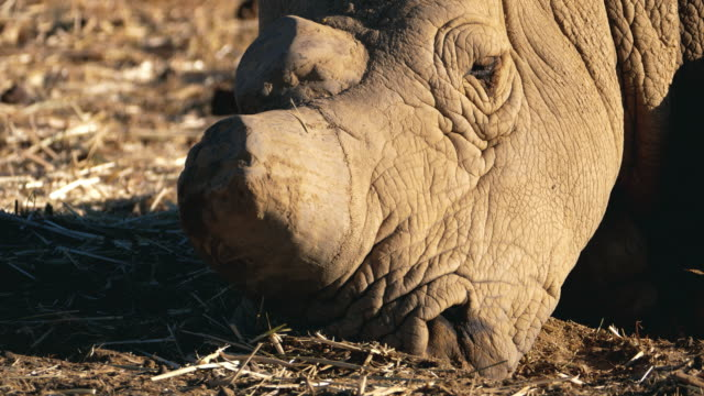 wild rhinoceros in africa - horned stock videos & royalty-free footage