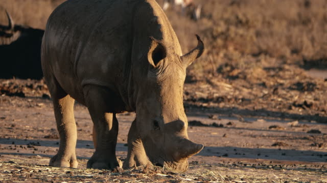 wild rhinoceros in africa - wildlife reserve stock videos & royalty-free footage