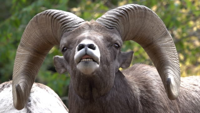 wild rocky mountain bighorn sheep ram close-up flehmen response smell waterton canyon colorado - wildlife stock videos & royalty-free footage