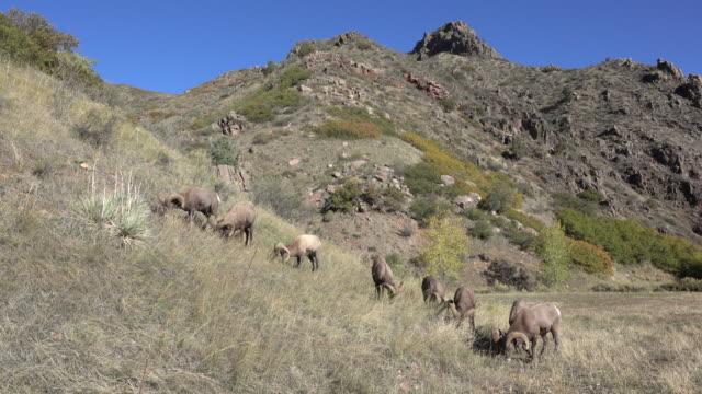 Wild Rocky Mountain bighorn sheep ram herd graze Waterton Canyon Goat Mountain Colorado