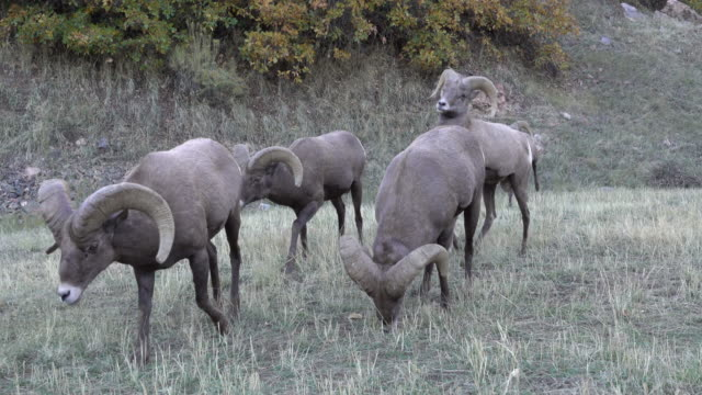 Wild Rocky Mountain bighorn sheep ram herd graze Waterton Canyon Colorado