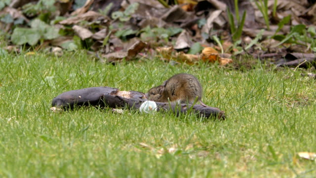 Wild Rodent / Rat / Mouse eating a rotten banana 4K