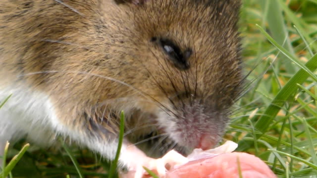 wild rodent / rat / mouse eating meat close up 4k - roditore video stock e b–roll