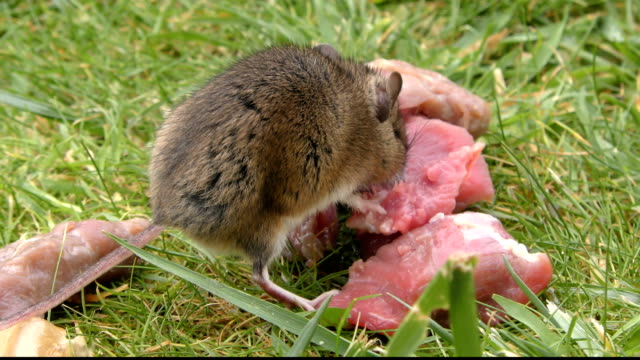 wild rodent / rat / mouse eating meat - rear and side view 4k - roditore video stock e b–roll
