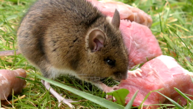 Wild Rodent / Rat / Mouse eating meat - side view 4K