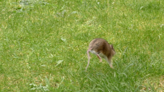 Wild Rodent / Rat / Mouse  running and hopping in grassland 4K