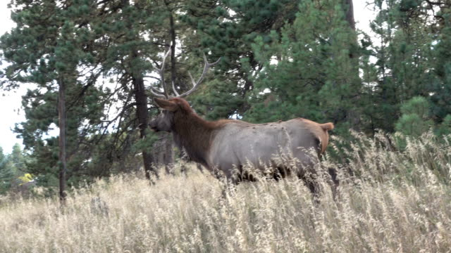 Wild running bull elk chases female cow Evergreen Colorado Rocky Mountain fall rut