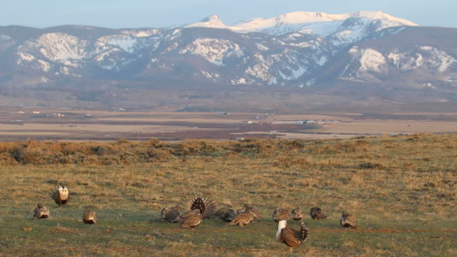 wild sage grouse on colorado lek during springtime mating ritual - flock of sheep stock videos & royalty-free footage