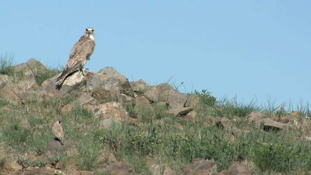 wild saker falcon watching prey - subordination stock videos & royalty-free footage