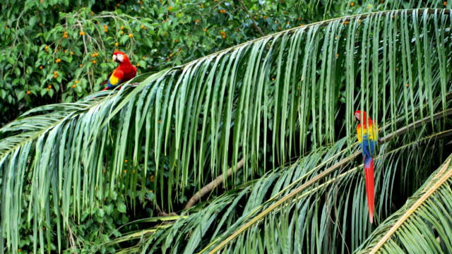 wild scarlet macaws, costa rica - animals in the wild stock videos & royalty-free footage