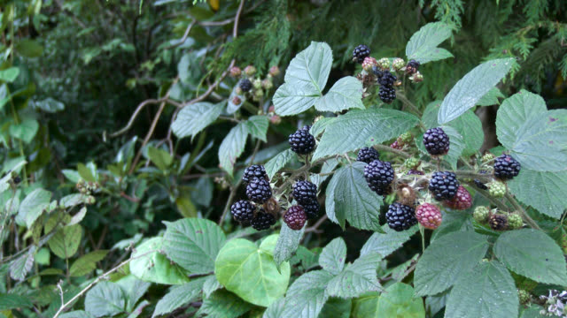 Wild Scottish brambles in September