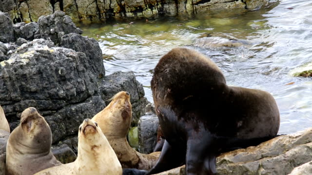 wild sea lion harem with male, females and newborn pups. - atlantic islands stock videos & royalty-free footage