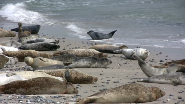 wild seals lying on the beach - north sea stock videos & royalty-free footage