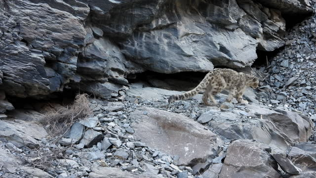 a wild snow leopard marking territory by urinating on rocks - animals in the wild stock videos & royalty-free footage