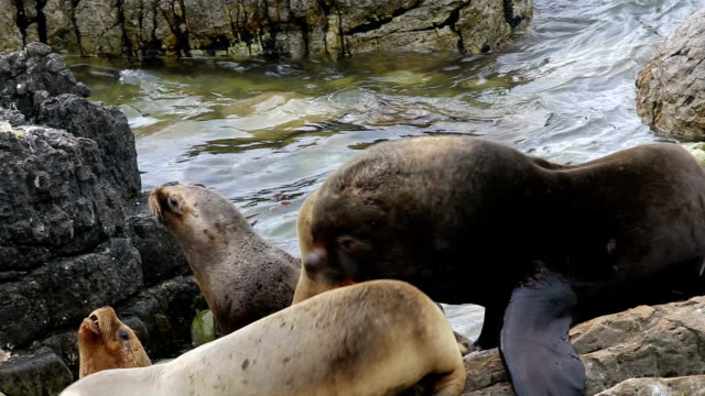 wild southern sea lions (otaria flavescens), falkland islands. - atlantic islands stock videos & royalty-free footage