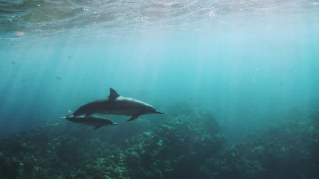 wild spinner dolphin calf with mom in slow motion - calf stock videos & royalty-free footage