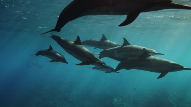 wild spinner dolphins in slow motion - pod group of animals stock videos & royalty-free footage