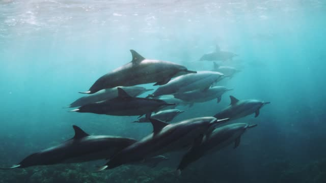 wild spinner dolphins in slow motion - dolphin stock videos & royalty-free footage