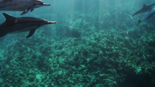 vidéos et rushes de wild spinner dolphins in slow motion - cétacé
