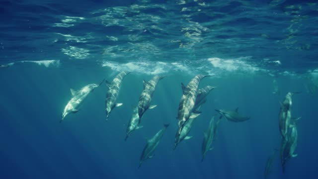 wild spinner dolphins - spinner dolphin stock videos & royalty-free footage
