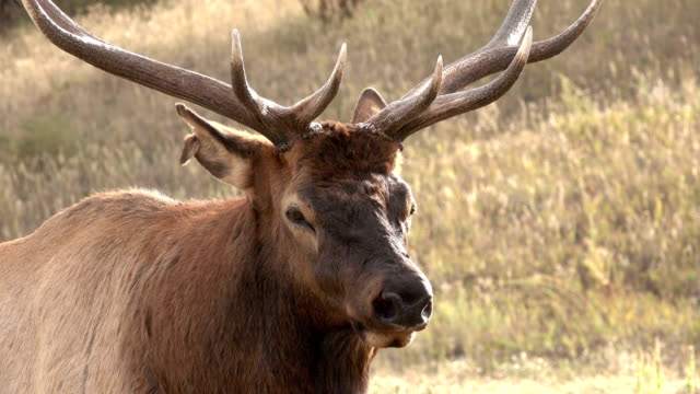 Wild standing bull elk close-up Evergreen Colorado Rocky Mountain fall rut
