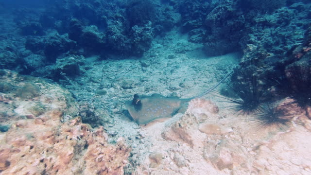 wild stingray hunting on sea bed floor oceania - bluespotted stingray stock videos & royalty-free footage