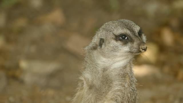 Wild suricate