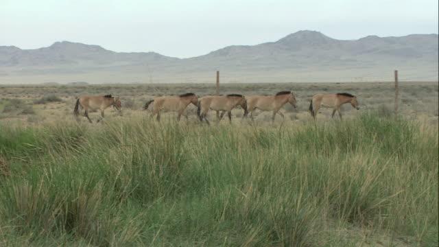 zi wild takhi horses crossing a mountain prairie, some wearing tracking collars / mongolia - przewalskihäst bildbanksvideor och videomaterial från bakom kulisserna