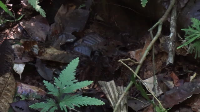wild tarantula from amazon rainforest - silvestre 個影片檔及 b 捲影像