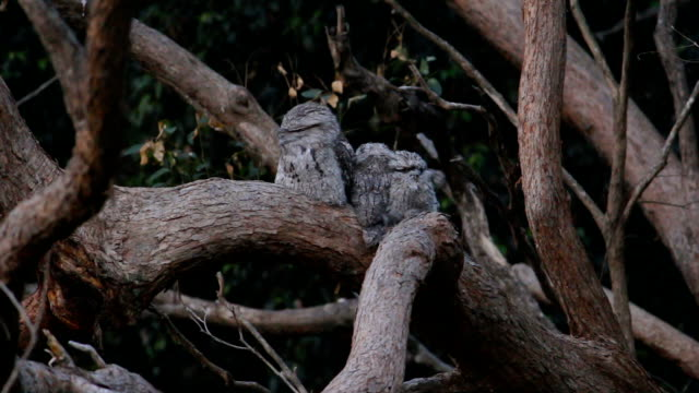 wild tawny frogmouth owl family resting in a tree - bush stock videos & royalty-free footage